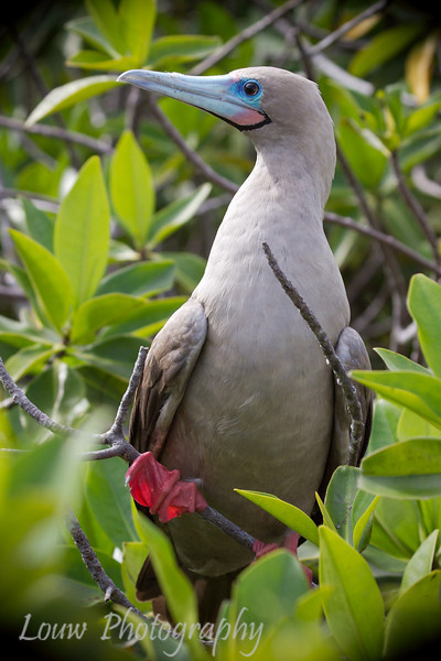 "<a target=""NEWWIN"" href=""http://en.wikipedia.org/wiki/Red-footed_Booby"">Red-footed Booby (<i>Sula sula</i>)</a>, Darwin Bay, Genovesa, <a target=""NEWWIN"" href=""http://en.wikipedia.org/wiki/Gal%C3%A1pagos_Islands"">Galápagos Islands</a>"