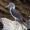 "<a target=""NEWWIN"" href=""http://en.wikipedia.org/wiki/Blue-footed_Booby"">Blue-footed Booby (<i>Sula nebouxii</i>)</a>, Tagus Cove, Isabela, <a target=""NEWWIN"" href=""http://en.wikipedia.org/wiki/Gal%C3%A1pagos_Islands"">Galápagos Islands</a>"
