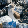 "<a target=""NEWWIN"" href=""http://en.wikipedia.org/wiki/Blue-footed_Booby"">Blue-footed Booby (<i>Sula nebouxii</i>)</a>, Punta Suarez, Española, <a target=""NEWWIN"" href=""http://en.wikipedia.org/wiki/Gal%C3%A1pagos_Islands"">Galápagos Islands</a>"