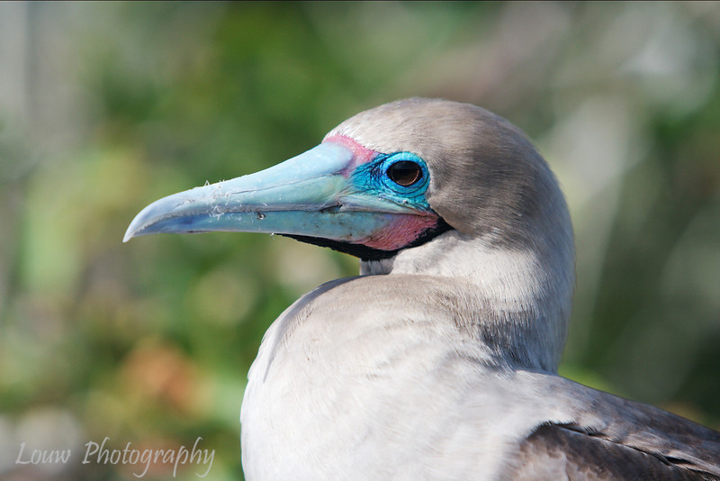 "<a target=""NEWWIN"" href=""http://en.wikipedia.org/wiki/Red-footed_Booby"">Red-footed Booby (<i>Sula sula</i>)</a>, Prince Philip's Steps, Genovesa, <a target=""NEWWIN"" href=""http://en.wikipedia.org/wiki/Gal%C3%A1pagos_Islands"">Galápagos Islands</a>"