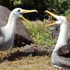 "<a target=""NEWWIN"" href=""http://en.wikipedia.org/wiki/Waved_Albatross"">Waved Albatross (<i>Diomedea irrorata</i>)</a>, Punta Suarez, Española, <a target=""NEWWIN"" href=""http://en.wikipedia.org/wiki/Gal%C3%A1pagos_Islands"">Galápagos Islands</a>"