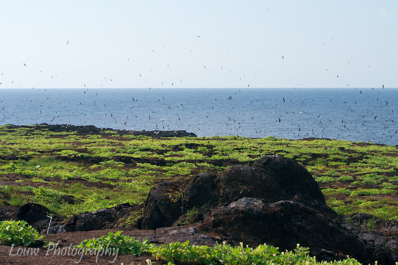 "Hundreds of birds at Prince Philip's Steps, Genovesa, <a target=""NEWWIN"" href=""http://en.wikipedia.org/wiki/Gal%C3%A1pagos_Islands"">Galápagos Islands</a>"