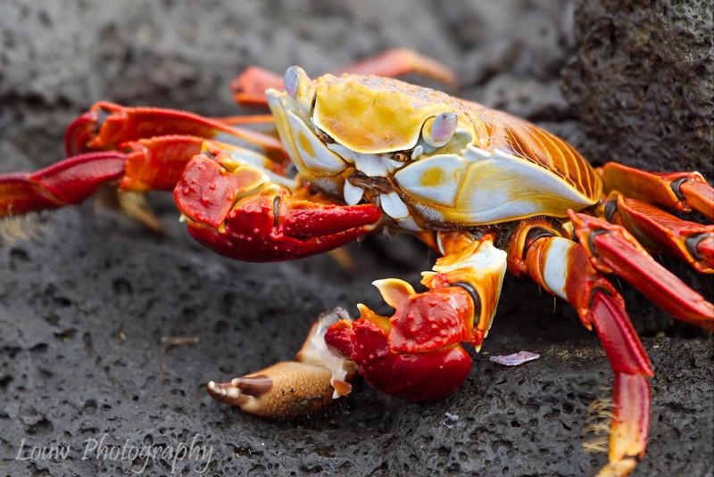 "A cannibalistic <a target=""NEWWIN"" href=""http://en.wikipedia.org/wiki/Grapsus_grapsus"">Sally Lightfoot Crab (<i>Grapsus grapsus</i>)</a>, Puerto Egas, Santiago, <a target=""NEWWIN"" href=""http://en.wikipedia.org/wiki/Gal%C3%A1pagos_Islands"">Galápagos Islands</a>"