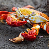 "A cannibalistic <a target=""NEWWIN"" href=""http://en.wikipedia.org/wiki/Grapsus_grapsus"">Sally Lightfoot Crab (<i>Grapsus grapsus</i>)</a>, Puerto Egas, Santiago, <a target=""NEWWIN"" href=""http://en.wikipedia.org/wiki/Gal%C3%A1pagos_Islands"">Galápagos Islands</a>"