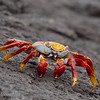 "<a target=""NEWWIN"" href=""http://en.wikipedia.org/wiki/Grapsus_grapsus"">Sally Lightfoot Crab (<i>Grapsus grapsus</i>)</a>, Punta Espinosa, Fernandina, <a target=""NEWWIN"" href=""http://en.wikipedia.org/wiki/Gal%C3%A1pagos_Islands"">Galápagos Islands</a>"