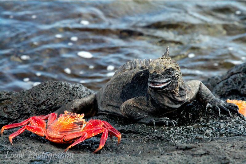"<a target=""NEWWIN"" href=""http://en.wikipedia.org/wiki/Grapsus_grapsus"">Sally Lightfoot Crab (<i>Grapsus grapsus</i>)</a>, Puerto Egas, Santiago, <a target=""NEWWIN"" href=""http://en.wikipedia.org/wiki/Gal%C3%A1pagos_Islands"">Galápagos Islands</a>"