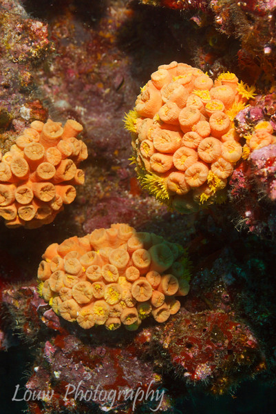 "Orange Cup Coral (<i>Tubastrea coccinea</i>), Cousin's Rock, <a target=""NEWWIN"" href=""http://en.wikipedia.org/wiki/Gal%C3%A1pagos_Islands"">Galápagos Islands</a>"