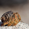 "Hermit Crab, La Loberia, San Cristobal, <a target=""NEWWIN"" href=""http://en.wikipedia.org/wiki/Gal%C3%A1pagos_Islands"">Galápagos Islands</a>"