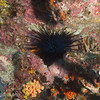 "Black Sea Urchin (<i>Centrostephanus rodgersii</i>), Cousin's Rock, <a target=""NEWWIN"" href=""http://en.wikipedia.org/wiki/Gal%C3%A1pagos_Islands"">Galápagos Islands</a>"