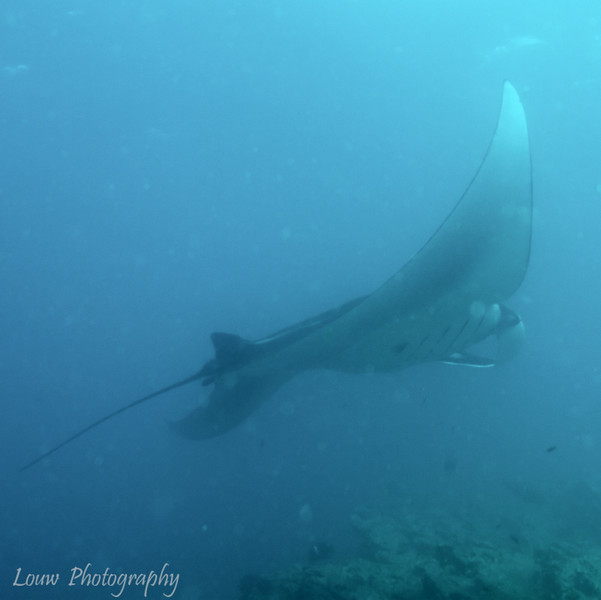 "<a target=""NEWWIN"" href=""http://en.wikipedia.org/wiki/Manta_ray"">Pacific Manta Ray (<i>Manta birostris</i>)</a>, Cousin's Rock, <a target=""NEWWIN"" href=""http://en.wikipedia.org/wiki/Gal%C3%A1pagos_Islands"">Galápagos Islands</a>"