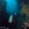 """Wall"" of Black-striped salema (<i>Xenocys jessiae</i>), Cousin's Rock, <a target=""NEWWIN"" href=""http://en.wikipedia.org/wiki/Gal%C3%A1pagos_Islands"">Galápagos Islands</a>"