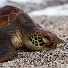 "<a target=""NEWWIN"" href=""http://en.wikipedia.org/wiki/Green_Sea_Turtle"">Green Turtle (<i>Chelonia mydas</i>)</a>, Punta Espinosa, Fernandina, <a target=""NEWWIN"" href=""http://en.wikipedia.org/wiki/Gal%C3%A1pagos_Islands"">Galápagos Islands</a>"