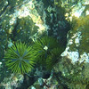 "Green Sea Urchin (<i>Lytechinus semituberculatus</i>), Santiago, <a target=""NEWWIN"" href=""http://en.wikipedia.org/wiki/Gal%C3%A1pagos_Islands"">Galápagos Islands</a>"