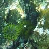 "Green Sea Urchin (<i>Lytechinus semituberculatus</i>), Santiago, <a target=""NEWWIN"" href=""http://en.wikipedia.org/wiki/Gal%C3%A1pagos_Islands"">Galápagos Islands</a>"
