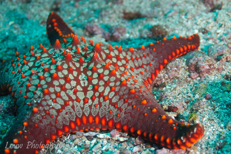 "Panamic Cushion Sea Star (<i>Pentaceraster cumingi</i>), Cousin's Rock, <a target=""NEWWIN"" href=""http://en.wikipedia.org/wiki/Gal%C3%A1pagos_Islands"">Galápagos Islands</a>"