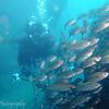 "School of Black-striped salema (<i>Xenocys jessiae</i>), Cousin's Rock, <a target=""NEWWIN"" href=""http://en.wikipedia.org/wiki/Gal%C3%A1pagos_Islands"">Galápagos Islands</a>"