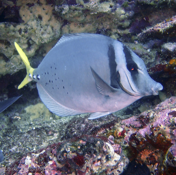 """Yellow-Tailed Surgeon Fish (<i>Prionurus laticlavius</i>), Cousin's Rock, <a target=""""NEWWIN"""" href=""""http://en.wikipedia.org/wiki/Gal%C3%A1pagos_Islands"""">Galápagos Islands</a>"""