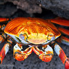 "<a target=""NEWWIN"" href=""http://en.wikipedia.org/wiki/Grapsus_grapsus"">Sally Lightfoot Crab (<i>Grapsus grapsus</i>)</a>, Puerto Egas, Santiago, <a target=""NEWWIN"" href=""http://en.wikipedia.org/wiki/Gal%C3%A1pagos_Islands"">Galápagos Islands</a>"