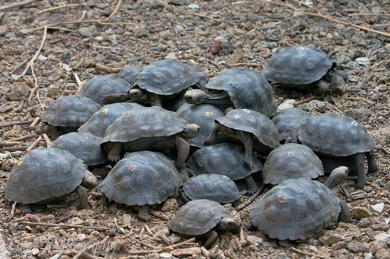 "Juvenile <a target=""NEWWIN"" href=""http://en.wikipedia.org/wiki/Geochelone_elephantopus"">Galápagos Giant Tortoises (<i>Geochelone nigra</i>)</a>, Santa Cruz, <a target=""NEWWIN"" href=""http://en.wikipedia.org/wiki/Gal%C3%A1pagos_Islands"">Galápagos Islands</a>"