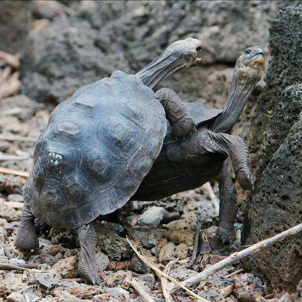 "Fighting juvenile <a target=""NEWWIN"" href=""http://en.wikipedia.org/wiki/Geochelone_elephantopus"">Galápagos Giant Tortoise (<i>Geochelone nigra</i>)</a>, Santa Cruz, <a target=""NEWWIN"" href=""http://en.wikipedia.org/wiki/Gal%C3%A1pagos_Islands"">Galápagos Islands</a>"