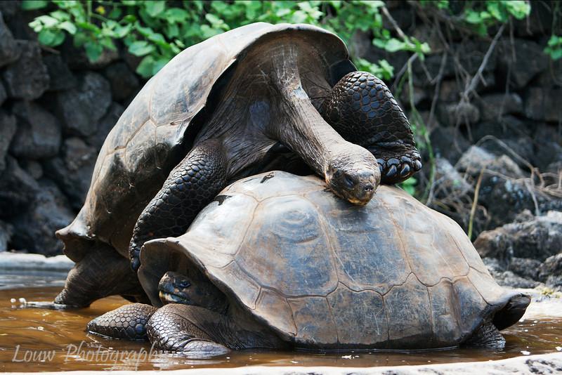 "<a target=""NEWWIN"" href=""http://en.wikipedia.org/wiki/Geochelone_elephantopus"">Galápagos Giant Tortoise (<i>Geochelone nigra</i>)</a>, Santa Cruz, <a target=""NEWWIN"" href=""http://en.wikipedia.org/wiki/Gal%C3%A1pagos_Islands"">Galápagos Islands</a>"
