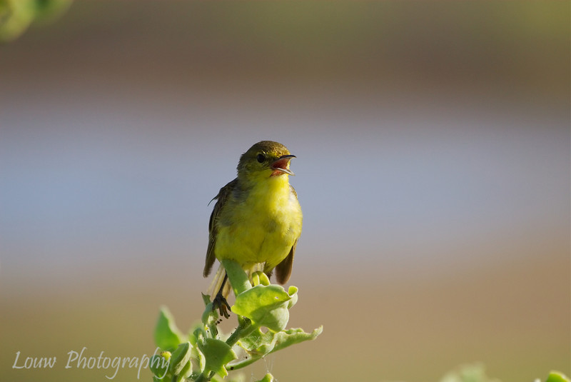 "<a target=""NEWWIN"" href=""http://en.wikipedia.org/wiki/Yellow_Warbler"">Yellow Warbler (<i>Dendroica petechia</i>)</a>, La Loberia, San Cristobal, <a target=""NEWWIN"" href=""http://en.wikipedia.org/wiki/Gal%C3%A1pagos_Islands"">Galápagos Islands</a>"