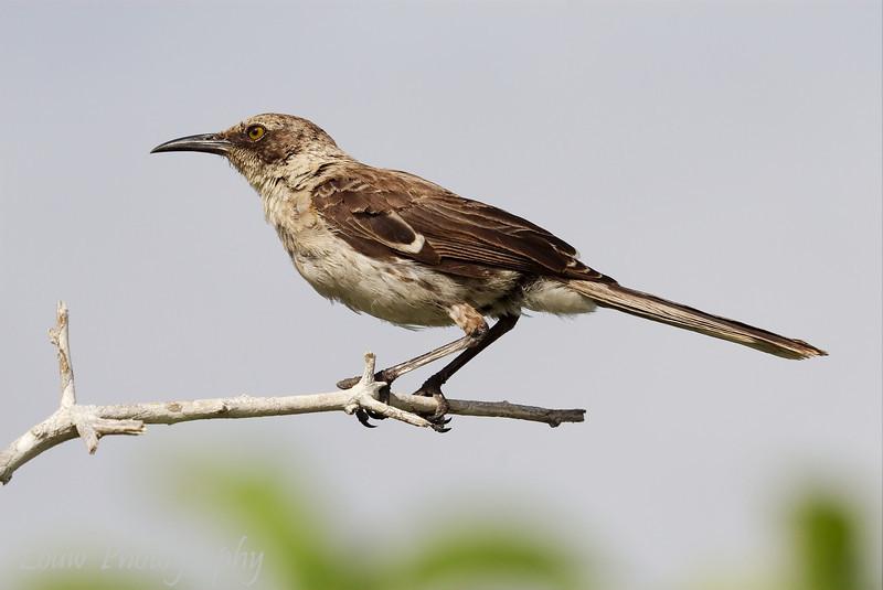 "<a target=""NEWWIN"" href=""http://en.wikipedia.org/wiki/Gal%C3%A1pagos_Mockingbird"">Galápagos Mockingbird (<i>Nesomimus parvulus</i>)</a>, Prince Philip's Steps, Genovesa, <a target=""NEWWIN"" href=""http://en.wikipedia.org/wiki/Gal%C3%A1pagos_Islands"">Galápagos Islands</a>"