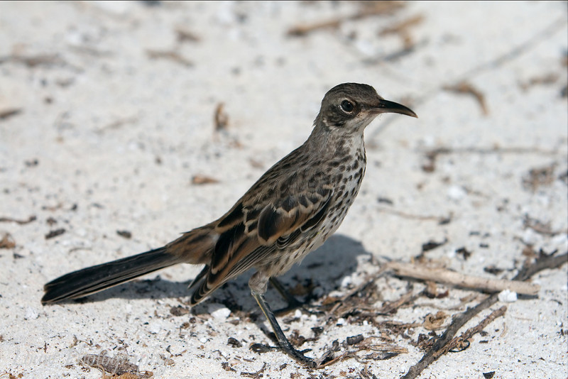 "<a target=""NEWWIN"" href=""http://en.wikipedia.org/wiki/Hood_Mockingbird"">Hood Mockingbird (<i>Nesomimus macdonaldi</i>)</a>, Gardner Bay, Española, <a target=""NEWWIN"" href=""http://en.wikipedia.org/wiki/Gal%C3%A1pagos_Islands"">Galápagos Islands</a>"