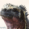"""Christmas Tree"" <a target=""NEWWIN"" href=""http://en.wikipedia.org/wiki/Marine_Iguana"">Marine Iguana (<i>Amblyrhynchus cristatus</i>)</a>, Punta Suarez, Española, <a target=""NEWWIN"" href=""http://en.wikipedia.org/wiki/Gal%C3%A1pagos_Islands"">Galápagos Islands</a>"
