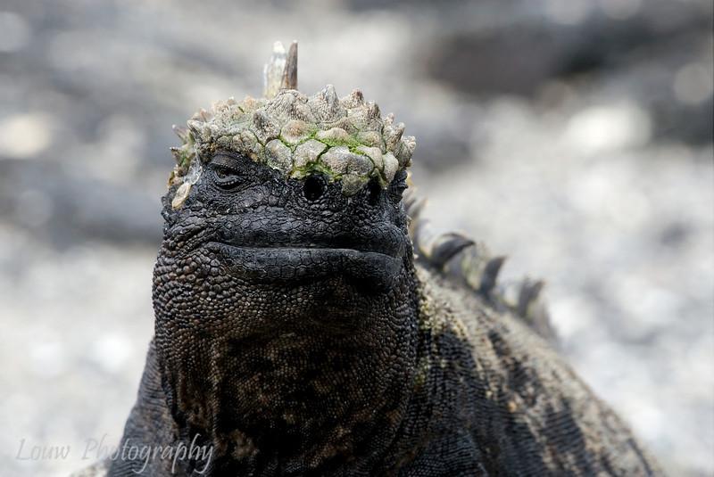"<a target=""NEWWIN"" href=""http://en.wikipedia.org/wiki/Marine_Iguana"">Marine Iguana (<i>Amblyrhynchus cristatus</i>)</a>, Punta Espinosa, Fernandina, <a target=""NEWWIN"" href=""http://en.wikipedia.org/wiki/Gal%C3%A1pagos_Islands"">Galápagos Islands</a>"