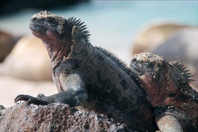 "A pair of ""Christmas Tree"" <a target=""NEWWIN"" href=""http://en.wikipedia.org/wiki/Marine_Iguana"">marine iguanas (<i>Amblyrhynchus cristatus</i>)</a>, Punta Suarez, Española, <a target=""NEWWIN"" href=""http://en.wikipedia.org/wiki/Gal%C3%A1pagos_Islands"">Galápagos Islands</a>"