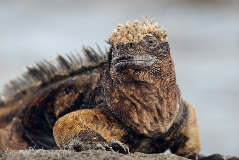 "<a target=""NEWWIN"" href=""http://en.wikipedia.org/wiki/Marine_Iguana"">Marine Iguana (<i>Amblyrhynchus cristatus</i>)</a>, Santiago, <a target=""NEWWIN"" href=""http://en.wikipedia.org/wiki/Gal%C3%A1pagos_Islands"">Galápagos Islands</a>"