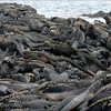 "A large group of <a target=""NEWWIN"" href=""http://en.wikipedia.org/wiki/Marine_Iguana"">marine iguanas (<i>Amblyrhynchus cristatus</i>)</a>, Punta Espinosa, Fernandina, <a target=""NEWWIN"" href=""http://en.wikipedia.org/wiki/Gal%C3%A1pagos_Islands"">Galápagos Islands</a>"