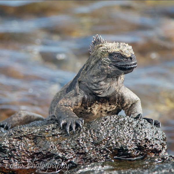 "<a target=""NEWWIN"" href=""http://en.wikipedia.org/wiki/Marine_Iguana"">Marine Iguana (<i>Amblyrhynchus cristatus</i>)</a>, Puerto Egas, Santiago, <a target=""NEWWIN"" href=""http://en.wikipedia.org/wiki/Gal%C3%A1pagos_Islands"">Galápagos Islands</a>"