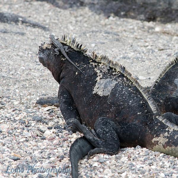 "Lava lizard hitching a ride on a <a target=""NEWWIN"" href=""http://en.wikipedia.org/wiki/Marine_Iguana"">marine iguana (<i>Amblyrhynchus cristatus</i>)</a>, Punta Espinosa, Fernandina, <a target=""NEWWIN"" href=""http://en.wikipedia.org/wiki/Gal%C3%A1pagos_Islands"">Galápagos Islands</a>"