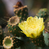 "Flower of the Prickly Pear Cactus, (<i>Opuntia Cactaceae</i>), Genovesa, <a target=""NEWWIN"" href=""http://en.wikipedia.org/wiki/Gal%C3%A1pagos_Islands"">Galápagos Islands</a>"