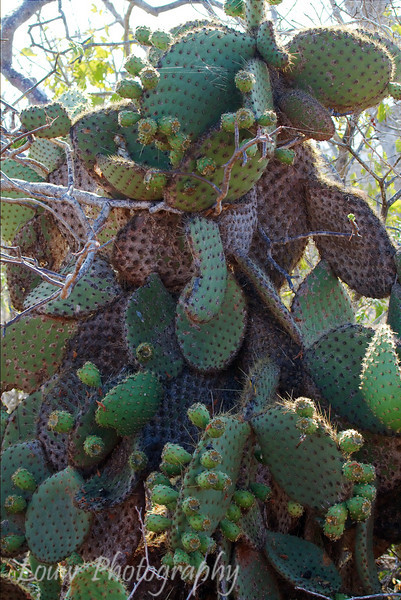 "Prickly Pear Cactus, (<i>Opuntia Cactaceae</i>), North Seymour, <a target=""NEWWIN"" href=""http://en.wikipedia.org/wiki/Gal%C3%A1pagos_Islands"">Galápagos Islands</a>"