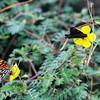"""Butterflies, Puerto Egas, Santiago, <a target=""""NEWWIN"""" href=""""http://en.wikipedia.org/wiki/Gal%C3%A1pagos_Islands"""">Galápagos Islands</a>"""