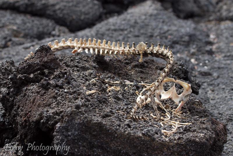 "Marine Iguana skeleton, Punta Suarez, Fernandina, <a target=""NEWWIN"" href=""http://en.wikipedia.org/wiki/Gal%C3%A1pagos_Islands"">Galápagos Islands</a>"