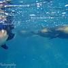 "Snorkeling with sea lions, Gordon Rocks, <a target=""NEWWIN"" href=""http://en.wikipedia.org/wiki/Gal%C3%A1pagos_Islands"">Galápagos Islands</a>"