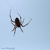 "Spider, Puerto Egas, Santiago, <a target=""NEWWIN"" href=""http://en.wikipedia.org/wiki/Gal%C3%A1pagos_Islands"">Galápagos Islands</a>"
