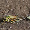 "Mating locusts, Puerto Egas, Santiago, <a target=""NEWWIN"" href=""http://en.wikipedia.org/wiki/Gal%C3%A1pagos_Islands"">Galápagos Islands</a>"