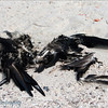 "Dead bird on Genovesa, <a target=""NEWWIN"" href=""http://en.wikipedia.org/wiki/Gal%C3%A1pagos_Islands"">Galápagos Islands</a>"