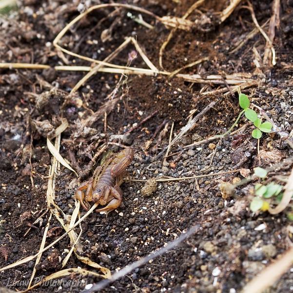 "Galapagos Scorpion (<i>Hadruroides maculatus</i>), Puerto Egas, Santiago, <a target=""NEWWIN"" href=""http://en.wikipedia.org/wiki/Gal%C3%A1pagos_Islands"">Galápagos Islands</a>"