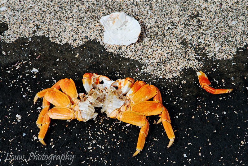 "Body of a Sally Lightfoot Crab, Puerto Egas, Santiago, <a target=""NEWWIN"" href=""http://en.wikipedia.org/wiki/Gal%C3%A1pagos_Islands"">Galápagos Islands</a>"