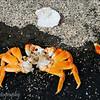 "Body of a Sally Lightfoot Crab, Puerto Egas, Santiago, <a target=""NEWWIN"" href=""http://en.wikipedia.org/wiki/Gal%C3%A1pagos_Islands"">Galápagos Islands</a>"