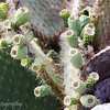 "Prickly Pear Cactus, (<i>Opuntia Cactaceae</i>), Genovesa, <a target=""NEWWIN"" href=""http://en.wikipedia.org/wiki/Gal%C3%A1pagos_Islands"">Galápagos Islands</a>"