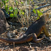 "<a target=""NEWWIN"" href=""http://en.wikipedia.org/wiki/Galapagos_Land_Iguana"">Galápagos Land Iguana (<i>Conolophus subcristatus</i>)</a>, North Seymour, <a target=""NEWWIN"" href=""http://en.wikipedia.org/wiki/Gal%C3%A1pagos_Islands"">Galápagos Islands</a>"
