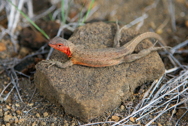 "<a target=""NEWWIN"" href=""http://en.wikipedia.org/wiki/Lava_lizard"">Lava Lizard (<i>Microlophus</i>)</a>, Puerto Egas, Santiago, <a target=""NEWWIN"" href=""http://en.wikipedia.org/wiki/Gal%C3%A1pagos_Islands"">Galápagos Islands</a>"