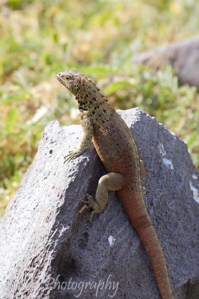 "<a target=""NEWWIN"" href=""http://en.wikipedia.org/wiki/Lava_lizard"">Lava Lizard (<i>Microlophus</i>)</a>, Punta Suarez, Española, <a target=""NEWWIN"" href=""http://en.wikipedia.org/wiki/Gal%C3%A1pagos_Islands"">Galápagos Islands</a>"